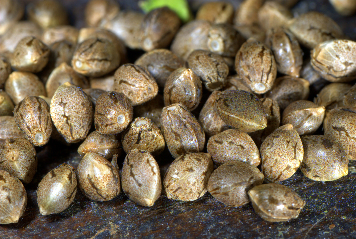What you need to know about Cannabis Seeds.